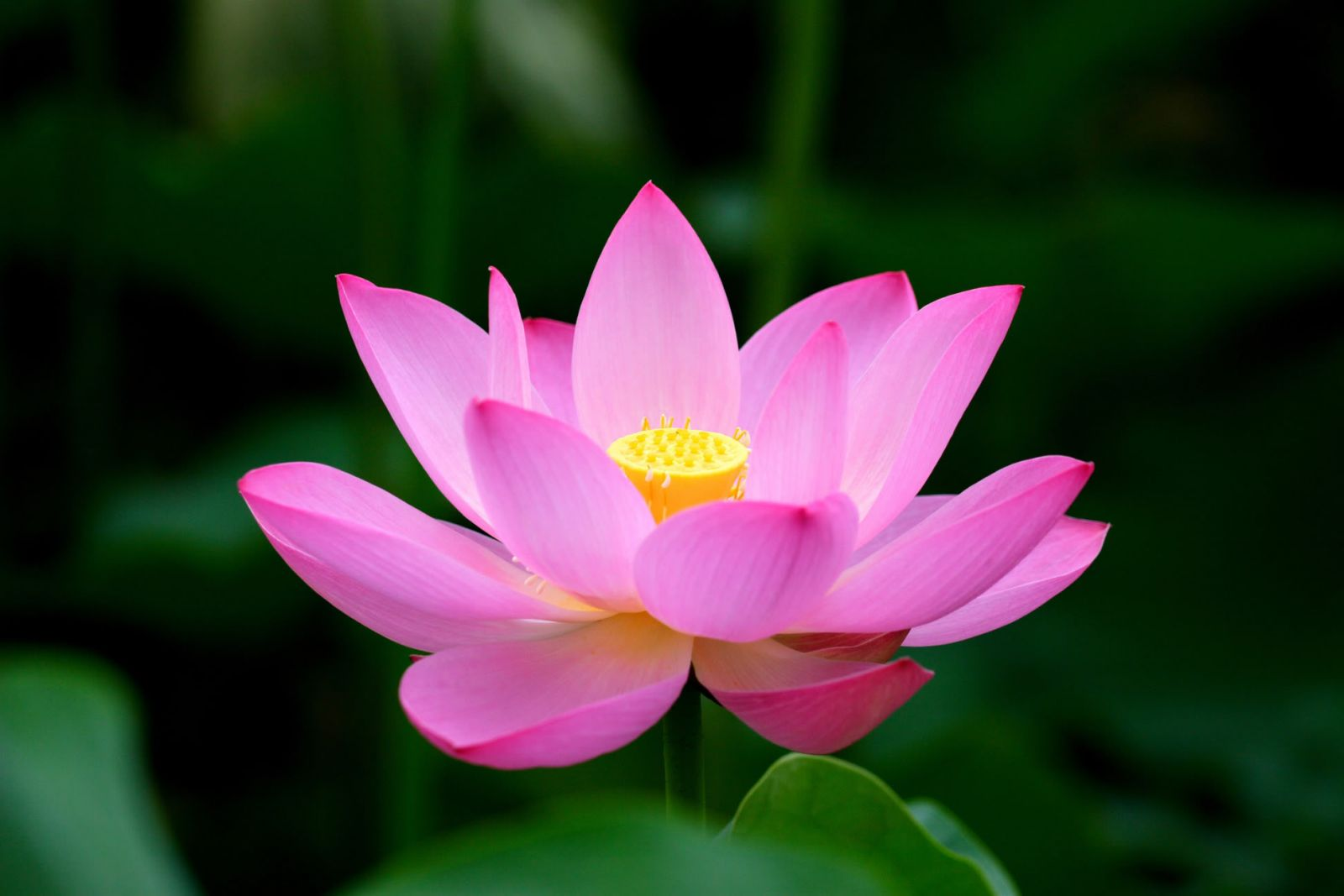 LOTUS FLOWER IN VIETNAMESE MENTALITY