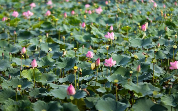 Tam Da lotus pond